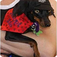 Adopt A Pet :: Bugsy - Gilbert, AZ