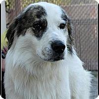 Adopt A Pet :: Bandit - Dandridge, TN