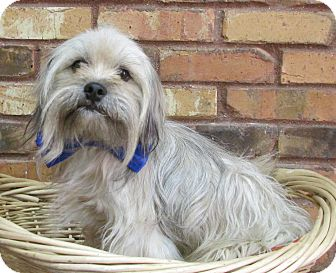 Lhasa Apso Mix Dog for adoption in Benbrook, Texas - Andy