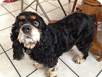 Cocker Spaniel Dog for adoption in Santa Barbara, California - Sophie Marie