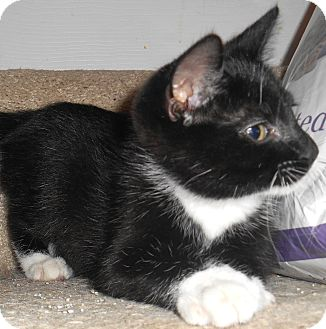 Domestic Shorthair Kitten for adoption in Chattanooga, Tennessee - Tristan