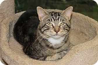 Domestic Shorthair Cat for adoption in Seville, Ohio - Roger