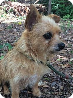 Terrier (Unknown Type, Small)/Chihuahua Mix Dog for adoption in Hagerstown, Maryland - Terri