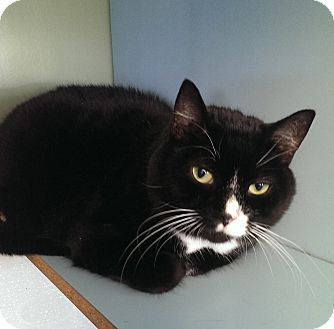 Domestic Shorthair Cat for adoption in Springfield, Vermont - Macey