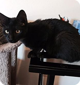 Domestic Shorthair Kitten for adoption in Bulverde, Texas - Binx 2