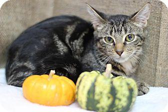 Domestic Shorthair Kitten for adoption in Midland, Michigan - Squid