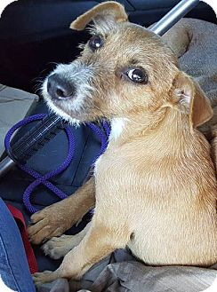 Parson Russell Terrier Mix Puppy for adoption in Ft. Lauderdale, Florida - Sahara