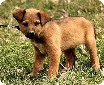 Great Pyrenees/St. Bernard Mix Puppy for adoption in Washington, D.C. - Alston