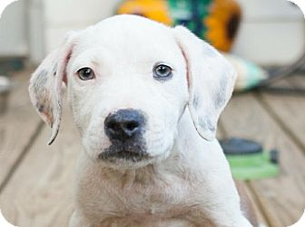 Pit Bull Terrier/Hound (Unknown Type) Mix Puppy for adoption in Vancouver, British Columbia - Isadora