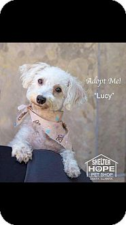 Poodle (Miniature) Mix Dog for adoption in Valencia, California - Lucy