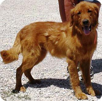 Golden Retriever Dog for adoption in Oswego, Illinois - I'M ADOPTED Dublin Ayers
