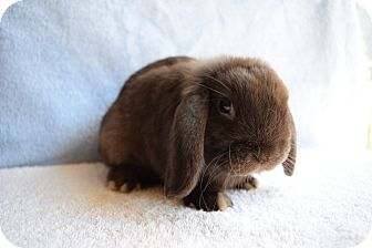 Lop-Eared Mix for adoption in Fountain Valley, California - Chocolate