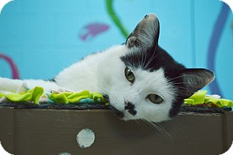 Domestic Shorthair Cat for adoption in Evansville, Indiana - Gunther
