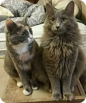 Domestic Mediumhair Cat for adoption in Irwin, Pennsylvania - Delilah and Daisy