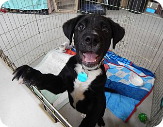 Labrador Retriever Mix Puppy for adoption in Fort Atkinson, Wisconsin - Asher