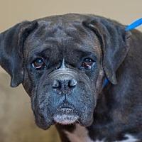 Adopt A Pet :: Taylor - Colorado Springs, CO