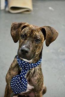 Plott Hound Mix Puppy for adoption in New York, New York - LT. DAN