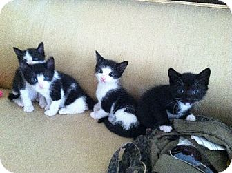 Bombay Kitten for adoption in Marlton, New Jersey - BLACK & WHITE TUXEDOS