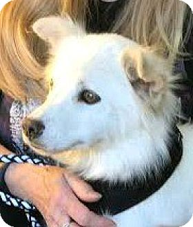 American Eskimo Dog/Spitz (Unknown Type, Small) Mix Dog for adoption in Boulder, Colorado - Madison-ADOPTION PENDING