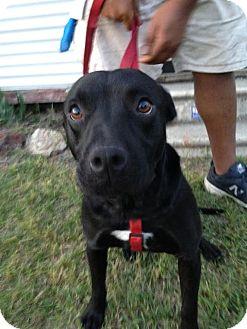 Labrador Retriever Mix Dog for adoption in Pottstown, Pennsylvania - Marley2
