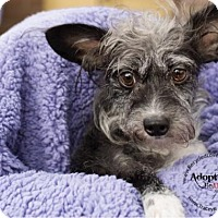 Yorkie, Yorkshire Terrier Mix Dog for adoption in Goodyear, Arizona - Yoshi