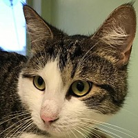 Adopt A Pet :: Bandit - Auburn, CA