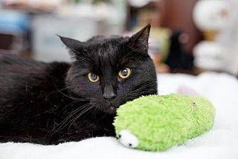 Domestic Shorthair Cat for adoption in Somerville, Massachusetts - Figgy