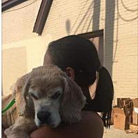 Adopt A Pet :: Spanielli - Flushing, NY
