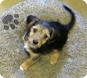 Terrier (Unknown Type, Medium) Mix Puppy for adoption in Ashland, Virginia - Noah-ADOPTED!!!