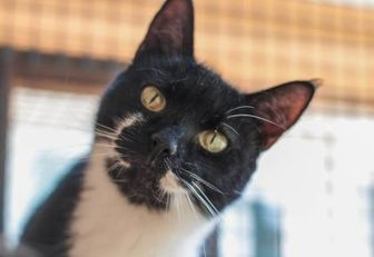 Domestic Shorthair/Domestic Shorthair Mix Cat for adoption in Chestertown, Maryland - Meadow