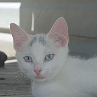 Domestic Shorthair Cat for adoption in Morgantown, West Virginia - Fisher