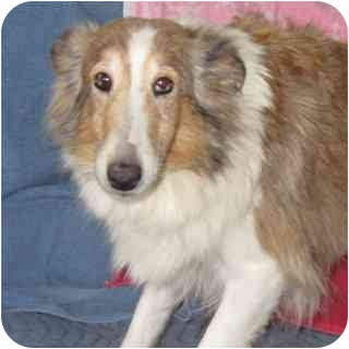 Sheltie, Shetland Sheepdog Dog for adoption in Fort Wayne, Indiana - Jerrica