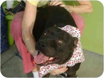 American Staffordshire Terrier/American Pit Bull Terrier Mix Dog for adoption in Los Angeles, California - Forrest the HUNK