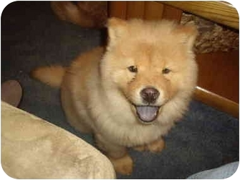Chow Chow Puppy for adoption in Honesdale, Pennsylvania - Ziva