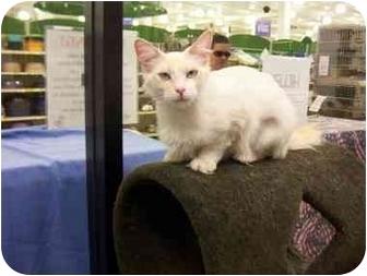Siamese Cat for adoption in San Diego/North County, California - Diamond