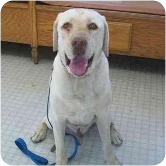 Labrador Retriever Dog for adoption in San Diego, California - SIMBA