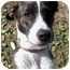 Photo 1 - Whippet/Basenji Mix Puppy for adoption in Sacramento, California - Lily Mae