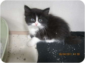 Domestic Longhair Kitten for adoption in Sterling Hgts, Michigan - Shirley