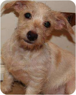 Jack Russell Terrier Puppy for adoption in San Pedro, California - Emma