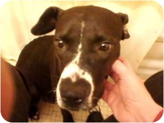 Boxer/Labrador Retriever Mix Dog for adoption in staten Island, New York - Momma