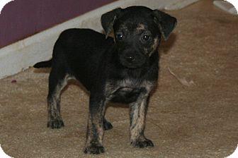 Carolina Dog/Labrador Retriever Mix Puppy for adoption in Westfield, Indiana - Max