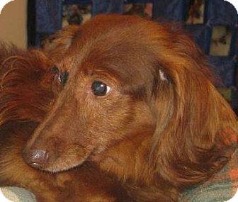 Dachshund Dog for adoption in Prole, Iowa - Clara
