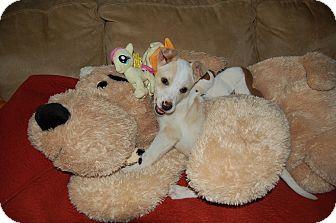 Australian Cattle Dog/Labrador Retriever Mix Puppy for adoption in Marlton, New Jersey - Baby Pumpkin