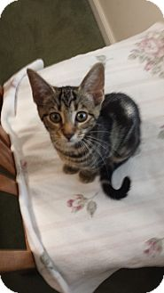 Domestic Shorthair Kitten for adoption in Media, Pennsylvania - Lily (Special $80)