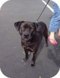Labrador Retriever/Pug Mix Dog for adoption in Gilbert, Arizona - JONESY