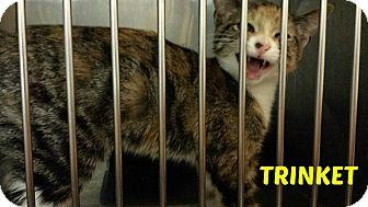 Domestic Shorthair Cat for adoption in Sauk Rapids, Minnesota - Trinket