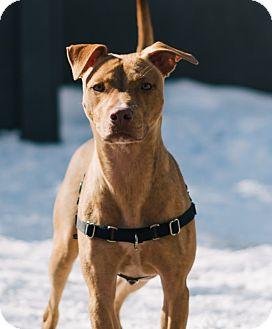 Shepherd (Unknown Type)/Vizsla Mix Dog for adoption in Chicago, Illinois - Snavely