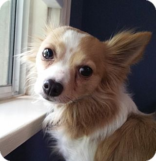 Papillon/Chihuahua Mix Dog for adoption in Los Angeles, California - Jax