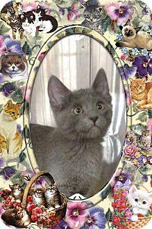 Russian Blue Kitten for adoption in Pueblo West, Colorado - Milly