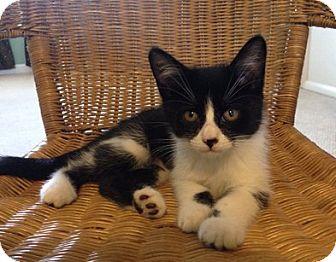 Domestic Shorthair Kitten for adoption in Toledo, Ohio - Elsie